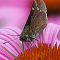 Skipper Moth Macro Photography by Juergen Roth