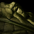 Skunk Cabbage Leaf by Bonnie Bruno