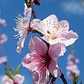 Sky High Cherry Blossoms by Cheryl Hardt Art