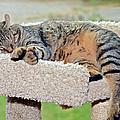 Sleeping Cat by Susan Leggett