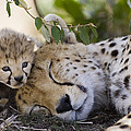Sleeping Cheetah And Cub Kenya by Suzi Eszterhas