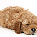 Sleeping Cockerpoo Puppy by Mark Taylor