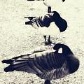 Sleeping Ducks by Joana Kruse