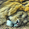 Sleeping Lion by Chris Thaxter