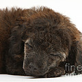Sleeping Puppy by Mark Taylor
