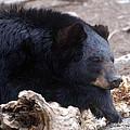 Sleepy Black Bear by Paul Ward