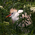Sleepy Egret In Elderberry by Peg Urban