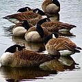 Sleepy Geese by Art Dingo