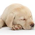 Sleepy Labrador Pup by Mark Taylor