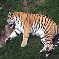 Sleepy Tiger by Brandy Lacey