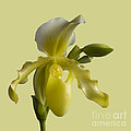 Slipper Orchid by Heiko Koehrer-Wagner
