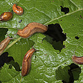 Slugs And A Snail Are Feeding On Leaves by George Grall