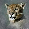 Slumbering Mountain Lion by Betty LaRue