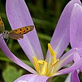 Small Copper Butterfly On Flower by Bob Gibbons
