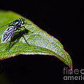 Small Green Fly 2 by Mitch Shindelbower