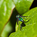 Small Green Fly by Mitch Shindelbower