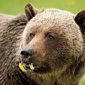 Small Meal For A Grizzly Bear by Donna Caplinger