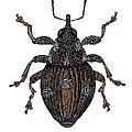 Small Nettle Weevil by Dr Keith Wheeler