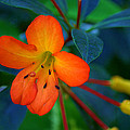 Small Orange Flower by Tikvah's Hope