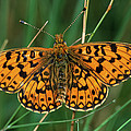 Small Pearl-bordered Fritillary by Roel Hoeve