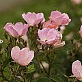 Small Pink Roses In Garden by M K  Miller