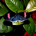Small Postman Butterfly by Kimmary MacLean