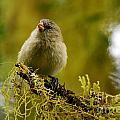 Small Tree Finch by Fabian Romero Davila