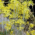 Small Yellow Onion (allium Flavum) by Bob Gibbons