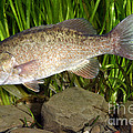 Smallmouth Bass Micropterus Dolomieu by Ted Kinsman