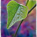Smilax by Judi Bagwell