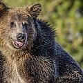 Smiling Grizzly by Greg Nyquist