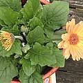 Smiling Orange Zerbera Flower by Sonali Gangane