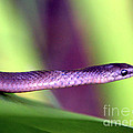 Sneaky Snake...... by Tanya Tanski