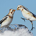 Snow Buntings And Ice by Mircea Costina Photography