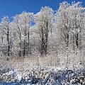 Snow Covered Maple Trees Iron Hill by David Chapman
