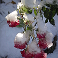 Snow Covered Roses by Michelle Welles