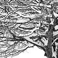 Snow Covered Tree Branches by Randall Nyhof