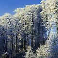 Snow Covered Trees In A Forest, County by The Irish Image Collection