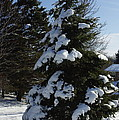 Snow Crusted Evergreen by Alice Markham
