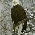 Snow Eagle by Myrna Bradshaw