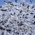 Snow Geese Chen Caerulescens Fly by Ralph Lee Hopkins