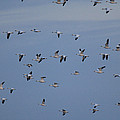 Snow Geese In Flight by George Grall