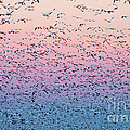 Snow Geese Liftoff by Susan Isakson