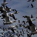 Snow Goose Blast Off by Doug Lloyd
