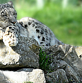 Snow Leopard At Rest. Kitty Time by Jenny Rainbow