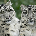 Snow Leopard Pair Sitting by Cyril Ruoso