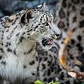 Snow Leopards by Keith Allen