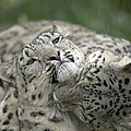 Snow Leopards Playing by Cyril Ruoso