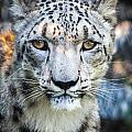 Snow Leopards Stare by Keith Allen