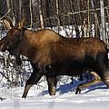 Snow Moose by Doug Lloyd
